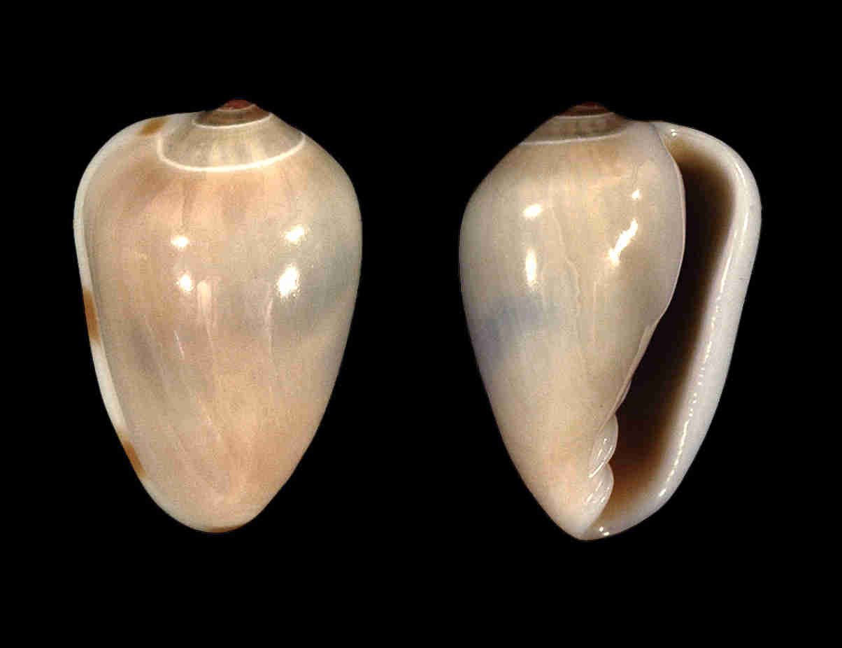 Common Atlantic Marginella