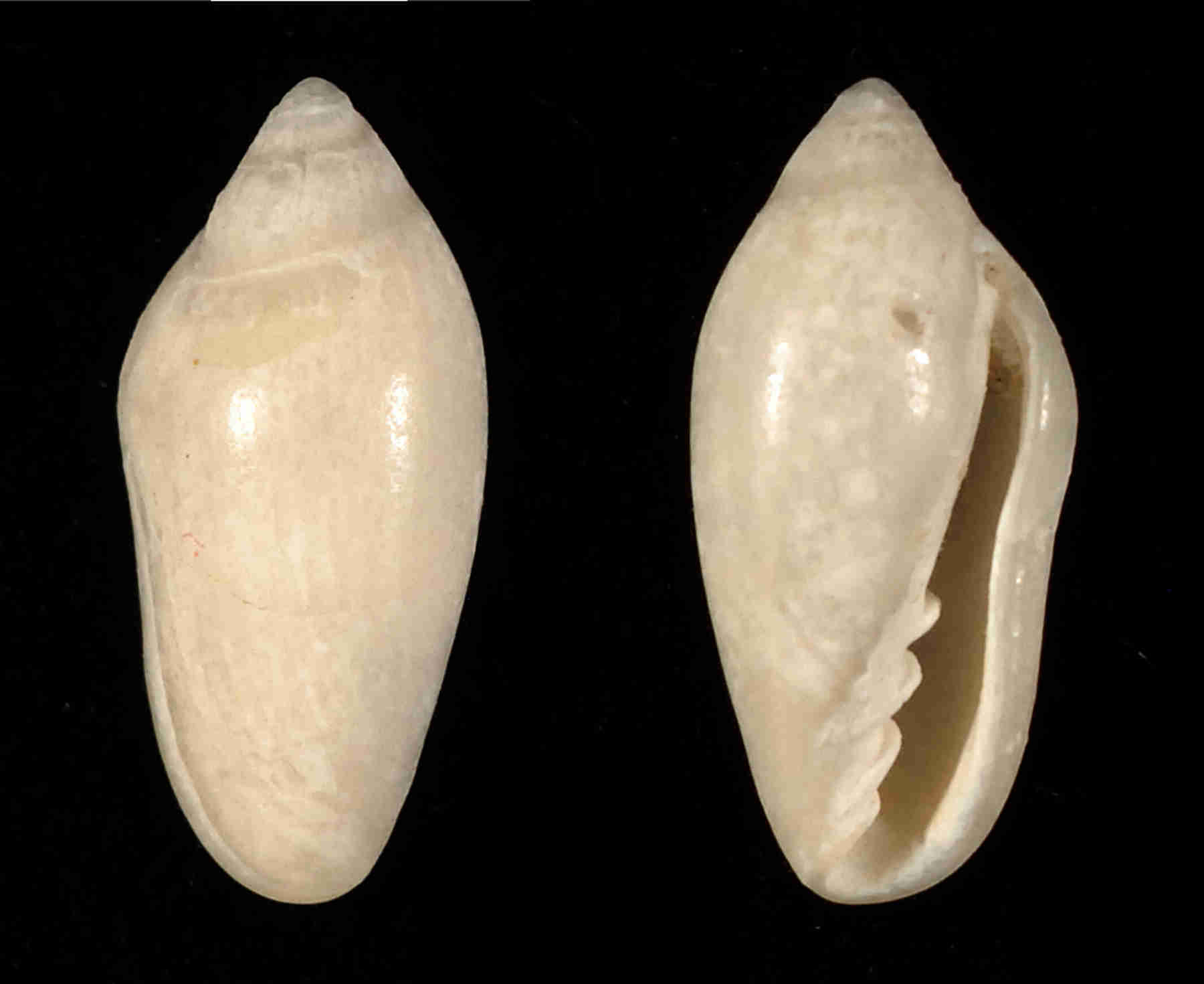 Little Oat Marginella