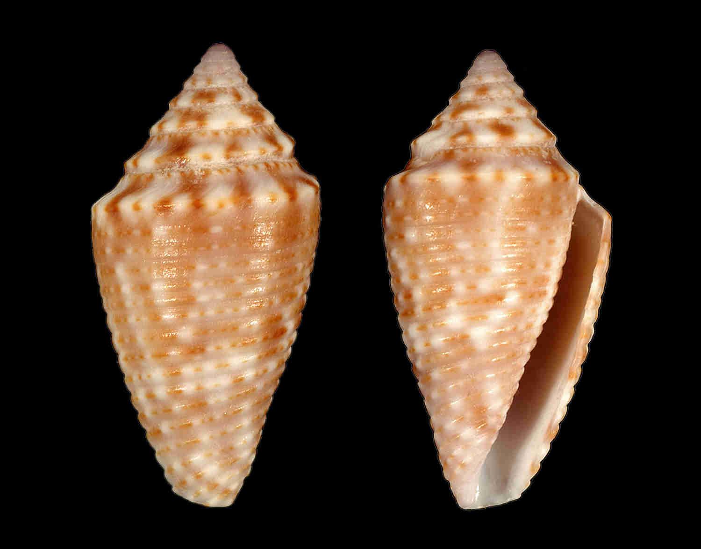 Dusky Cone