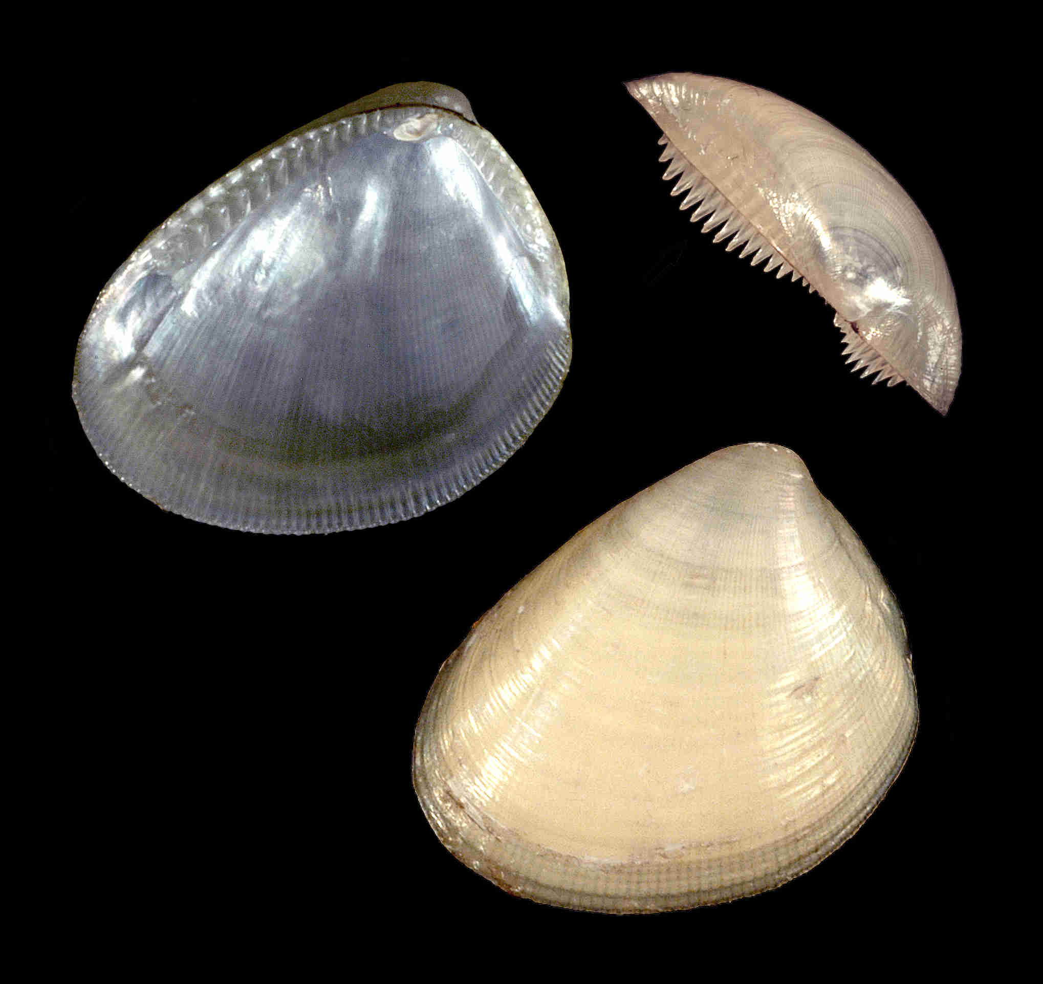 Atlantic Nut Clam