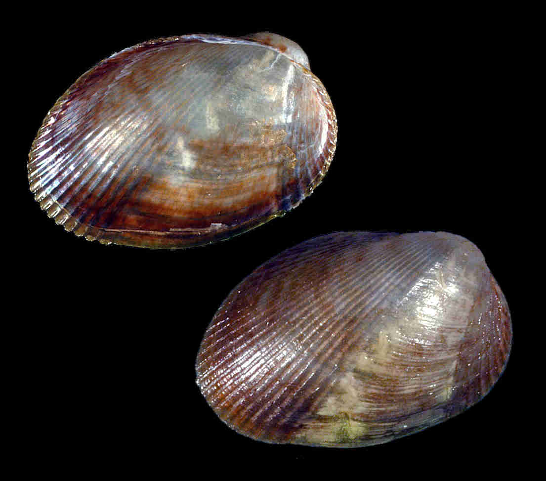 Lateral Mussel