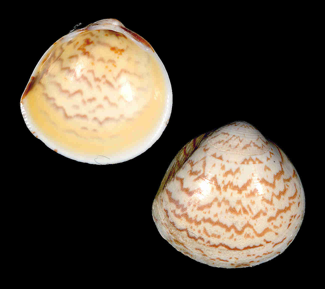 Yellow Egg Cockle