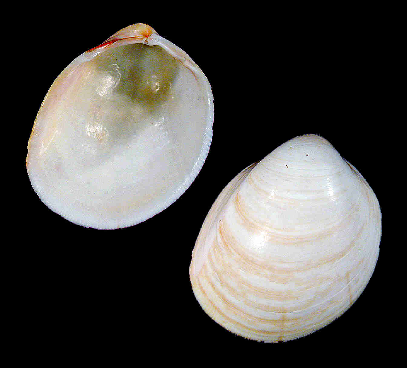 Common Egg Cockle