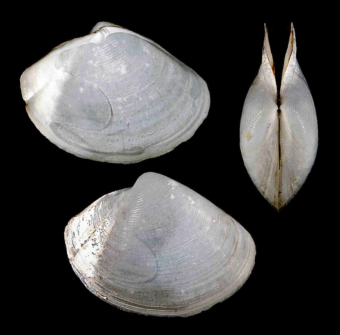 Smooth Duck Clam