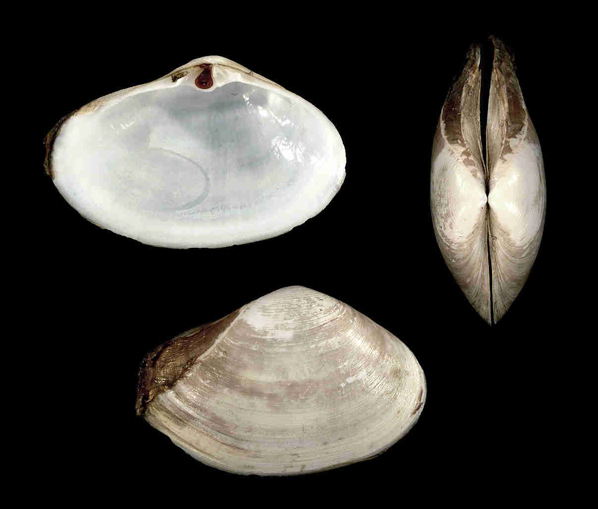 Fragile Surf Clam