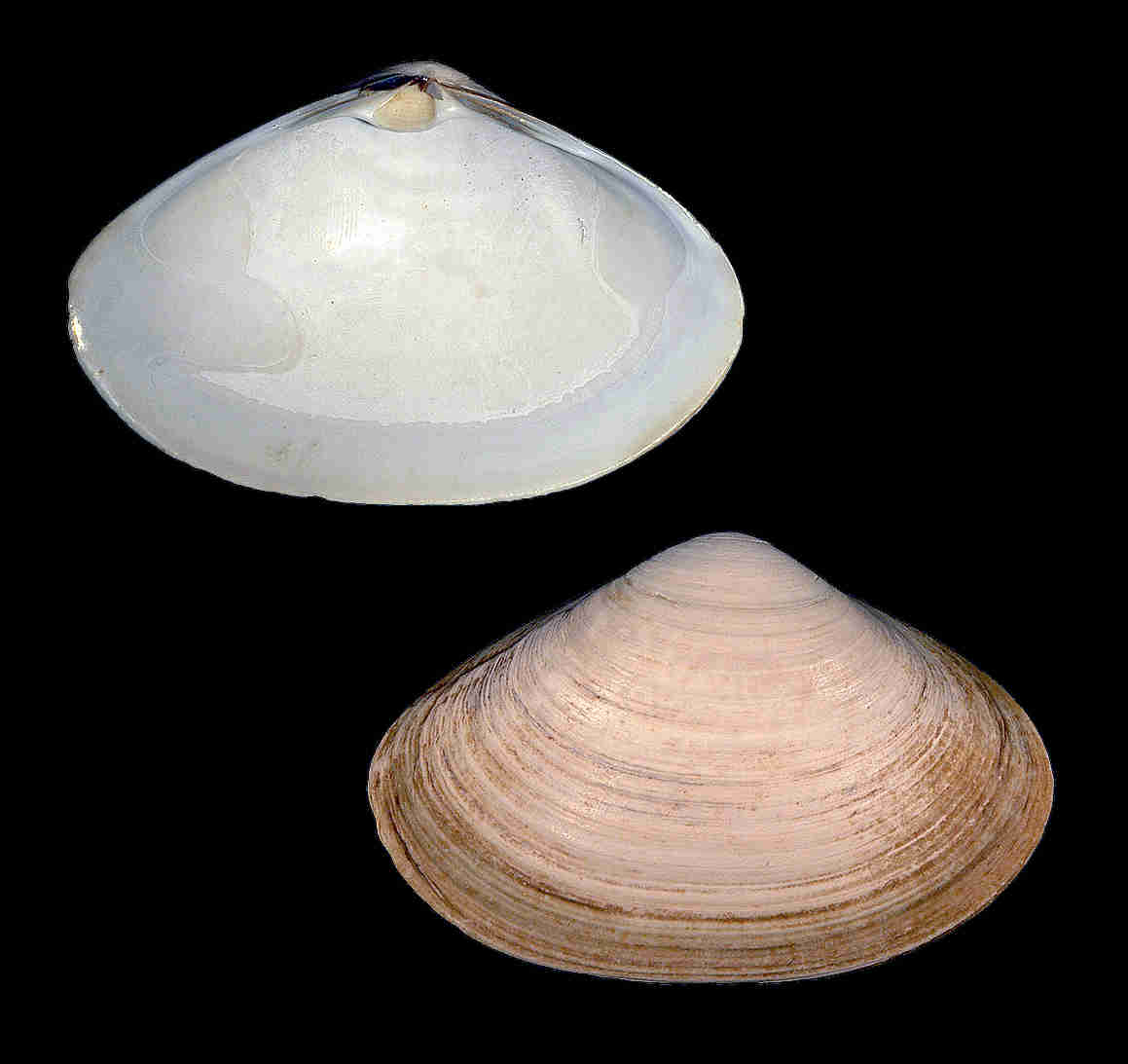Southern Surf Clam