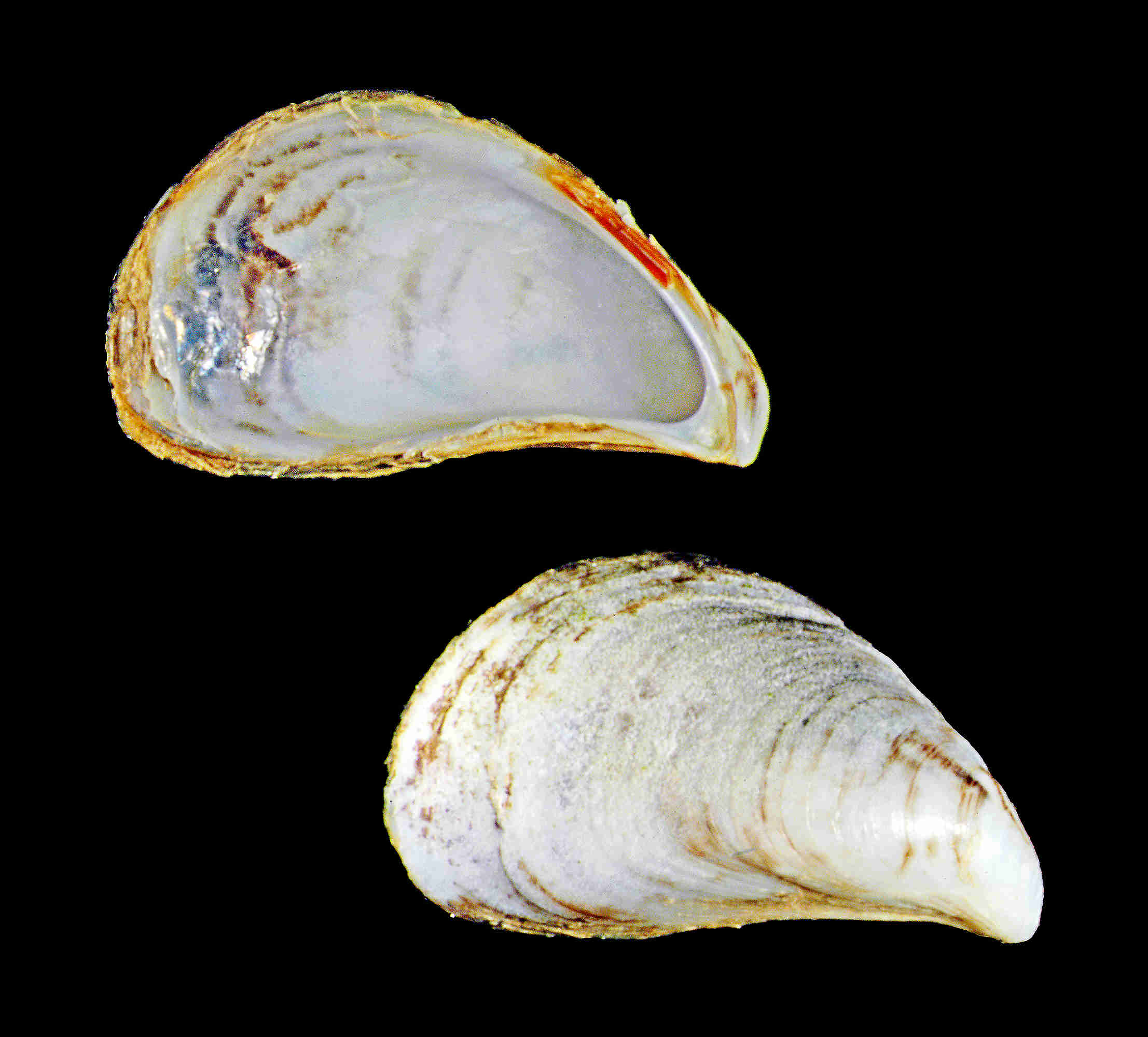 Dark False Mussel