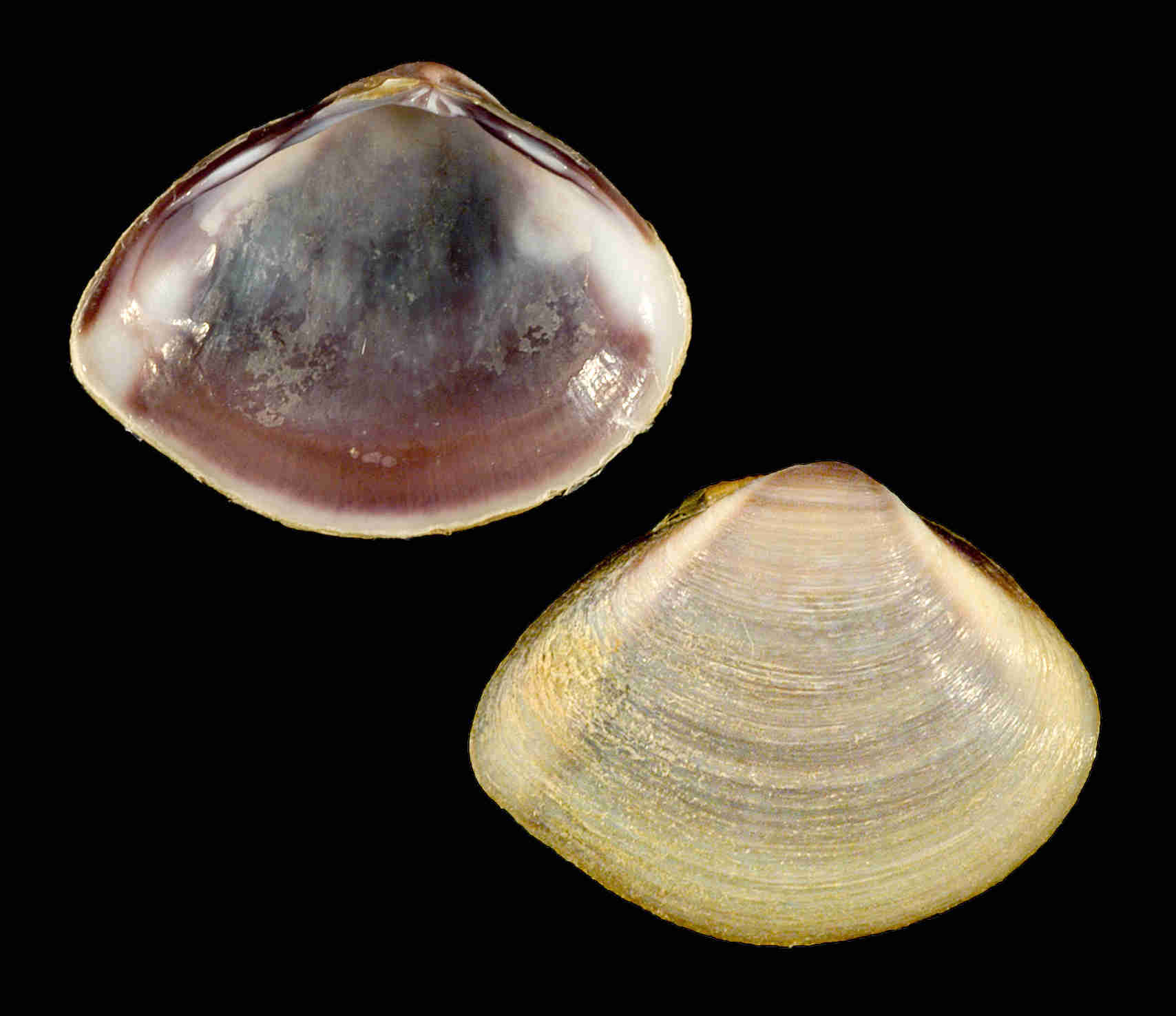Southern Marsh Clam