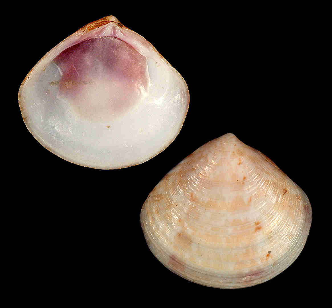 Waxy Gould Clam