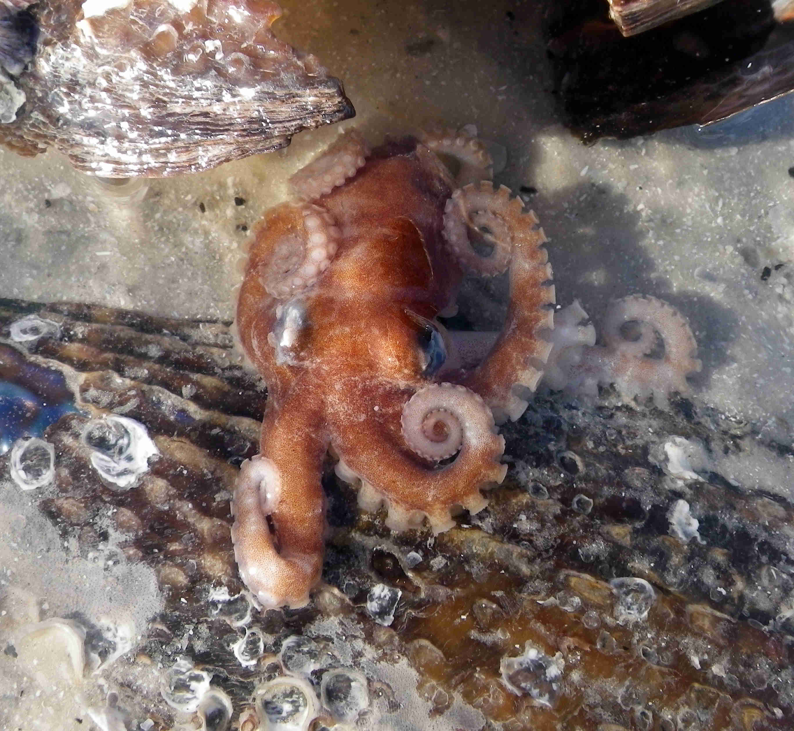 Atlantic Pigmy Octopus