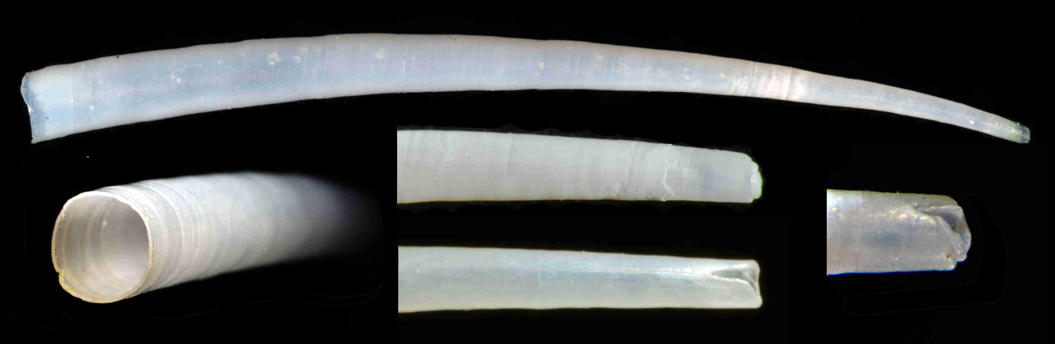 Ivory Tusk Shell