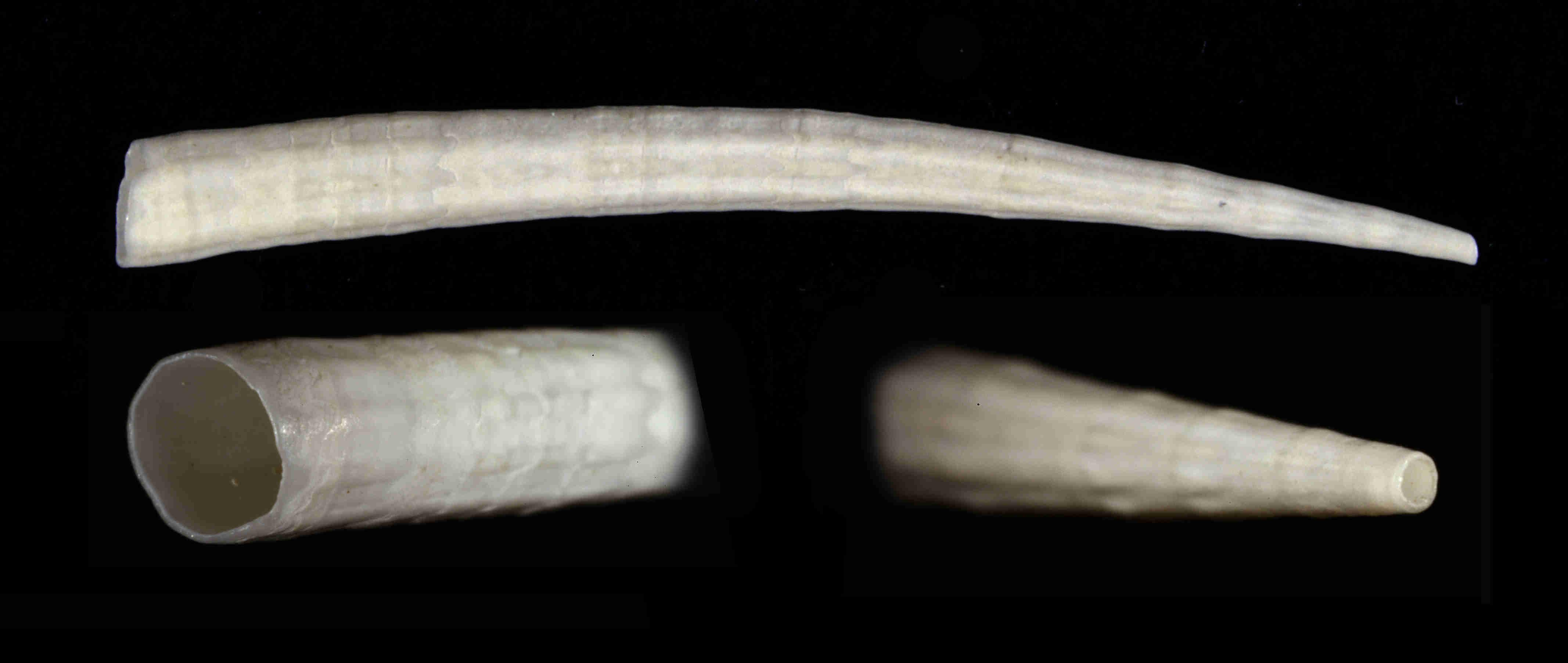 Reticulate Tusk Shell