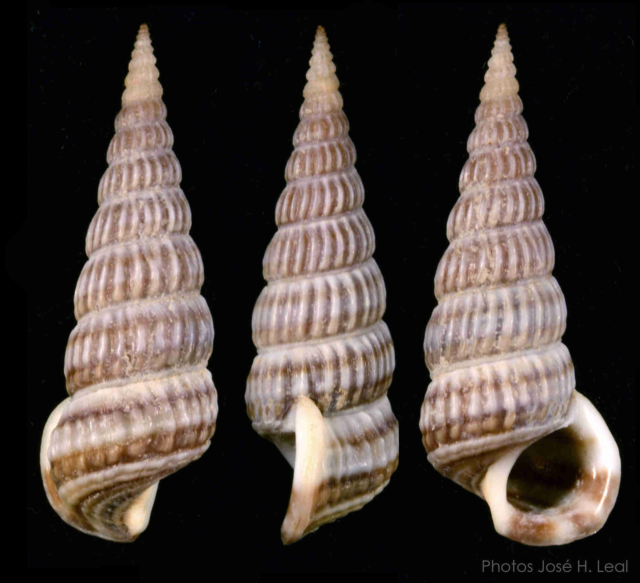 Ladder Horn Snail
