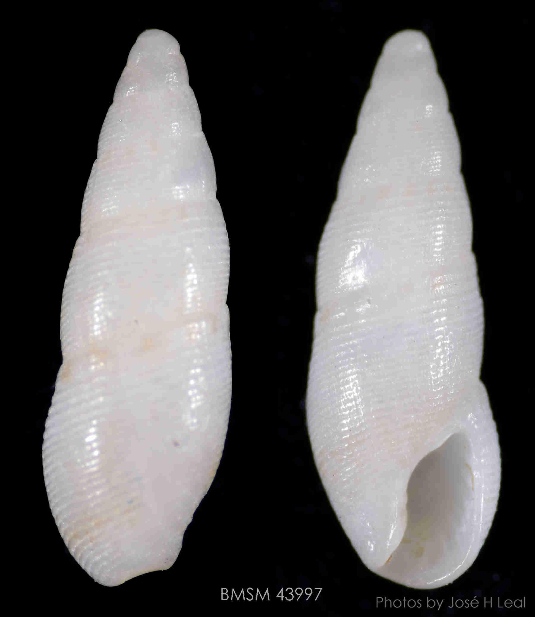 Stearns Dove Snail