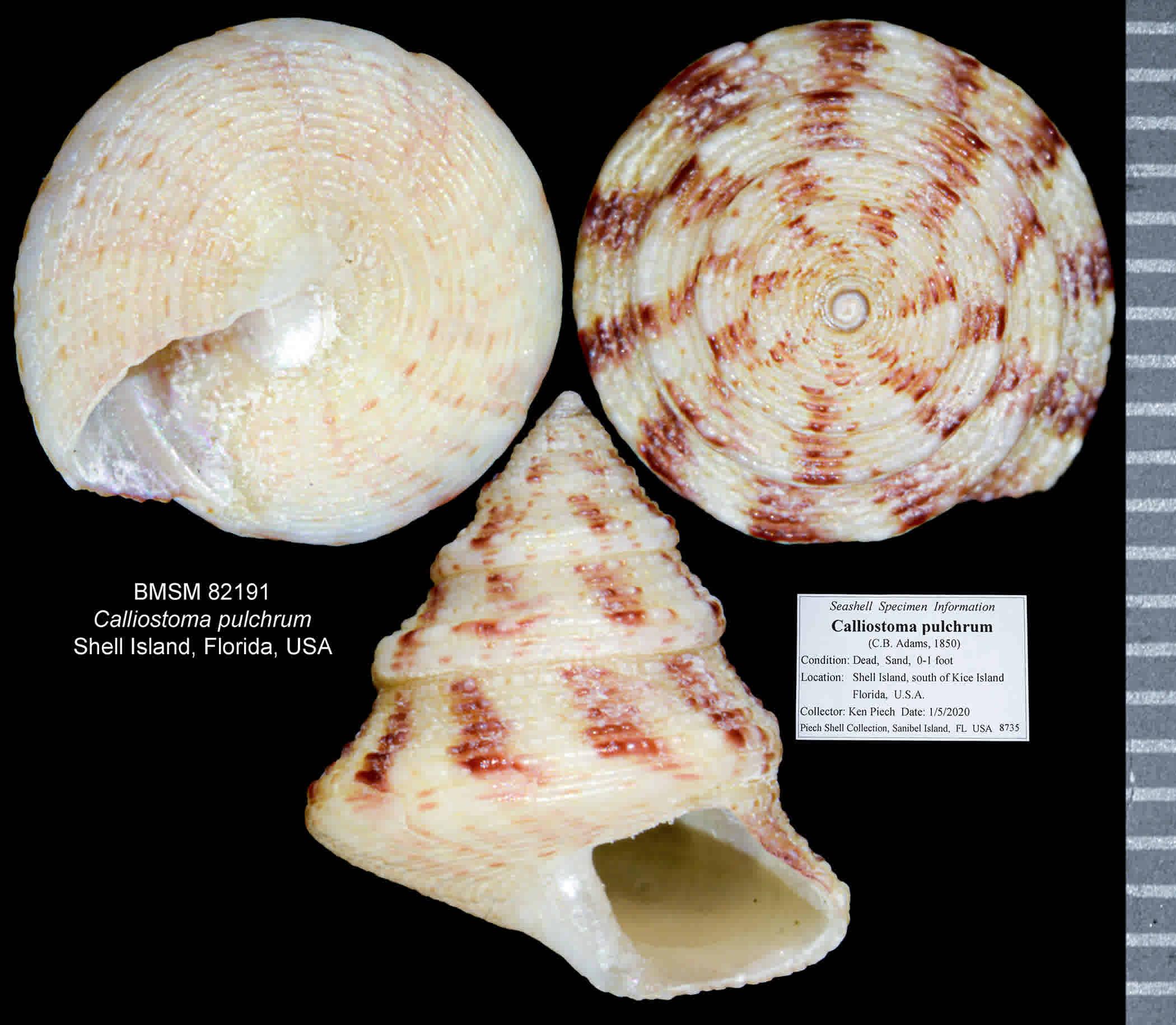 Beautiful Top Snail