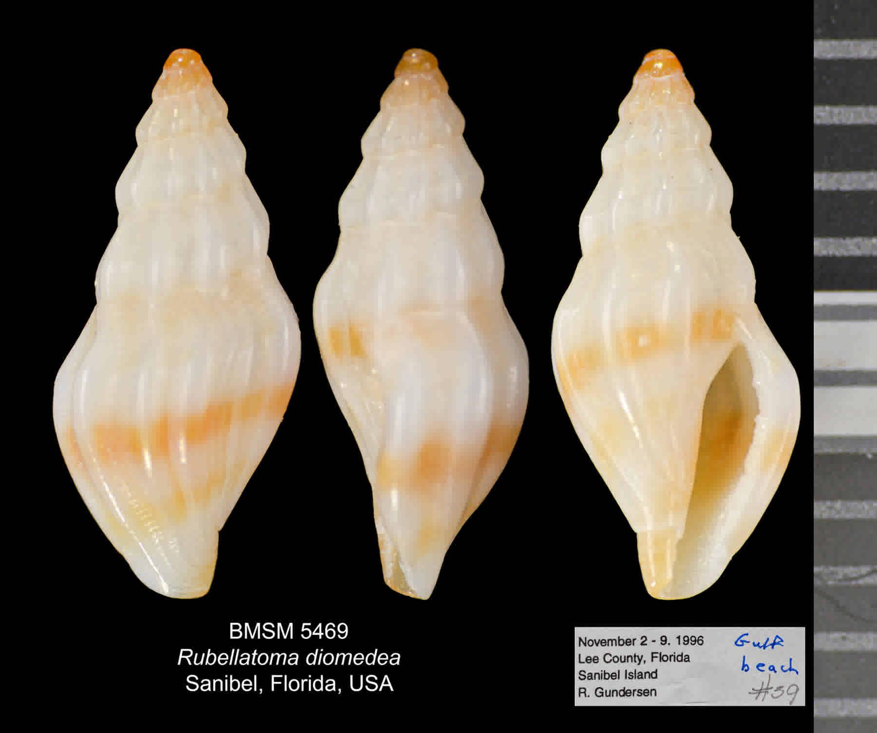 Diomedes Mangelia