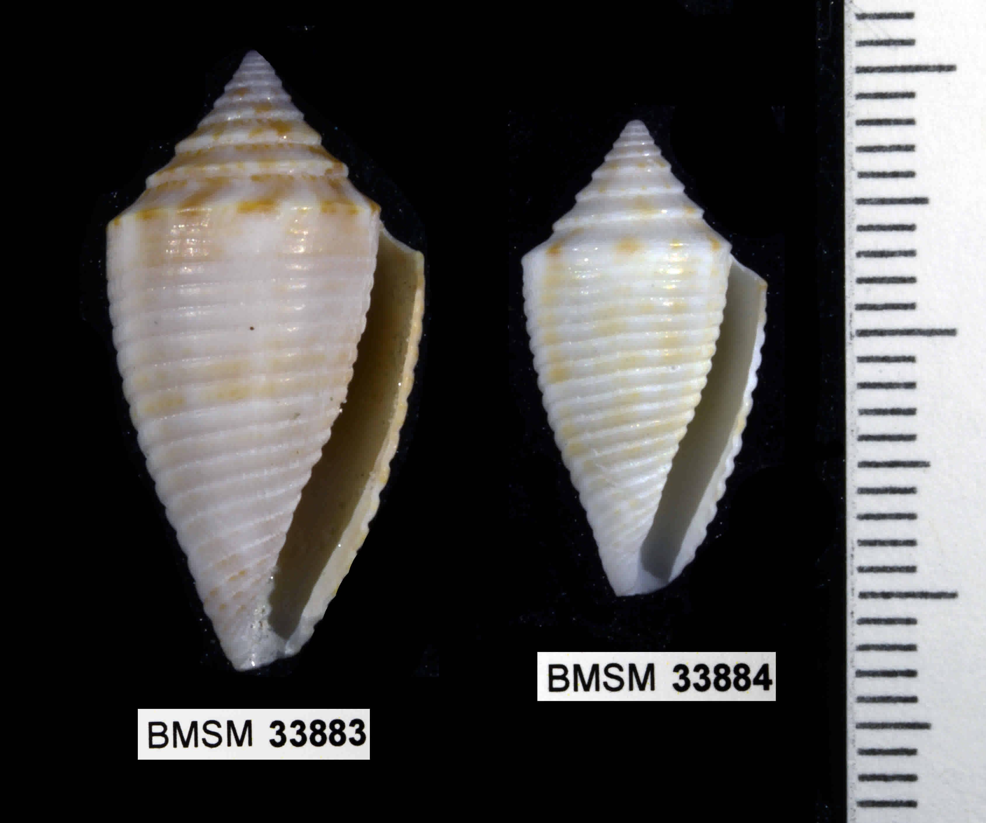Peal Cone