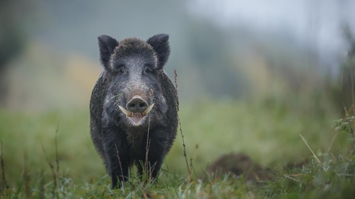 Danemark Grenzzaun Gegen Wildschweine Die Baltische Rundschau