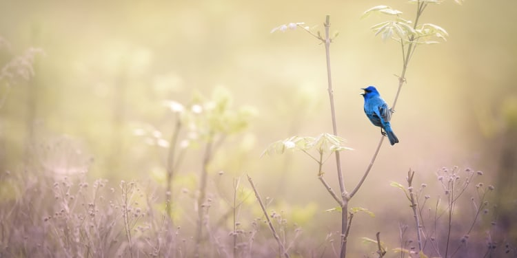An Indigo Bunting perched on branch against golden colors in the background