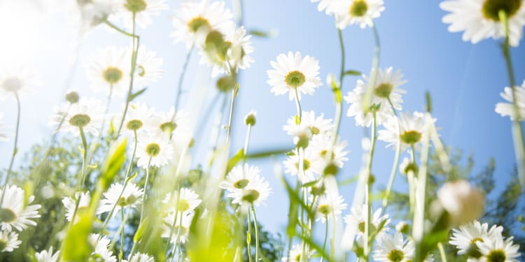 a sea of white daisy flowers against a blue sunny sky background