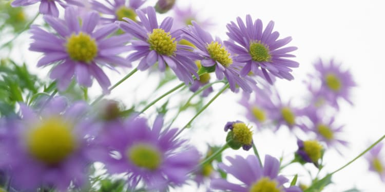 a sea of purple daisy flowers against a white sunny background