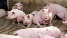 Mastschweinefutter