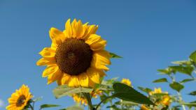 Leguminosen/Sonnenblumen