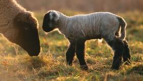 Schafe, Ziege & Wild