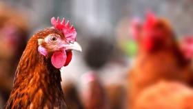 Geflügel- & Hühnerfutter