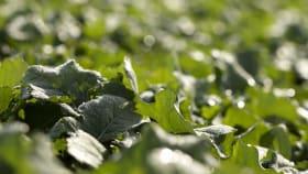 Übersicht für Raps Herbizide