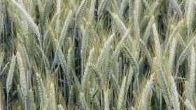 Sommertriticale