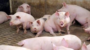 Schweinställe effizient planen und bauen je nach Haltungsform