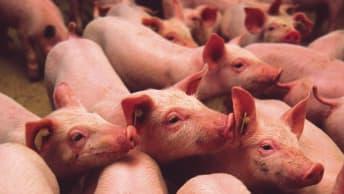 Relaxen Sie Ihre Schweine