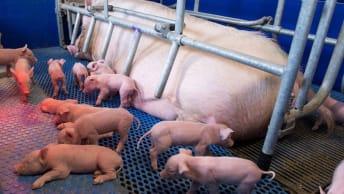 Winteraktion Schwein