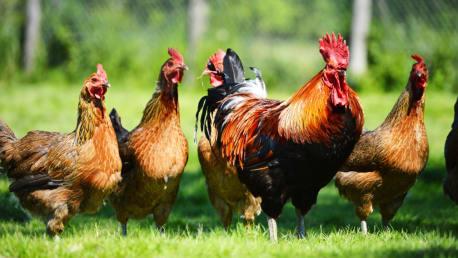 Geflügel- und Hühnerfutter