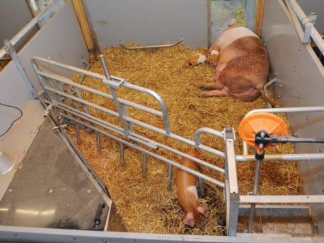 Alternative Haltungsformen bei Schweinen