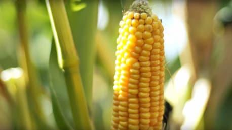 Planterra Mais Mittelfrüh