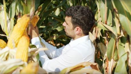 Maissaatgut vom BayWa Schwerpunktsortiment mit Reifegruppe Mittelfrüh