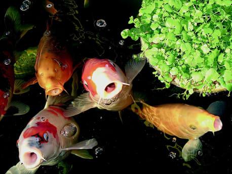 Karpfen-unter-Wasser
