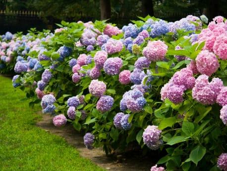 Hecken mit lila und rosa Blüten