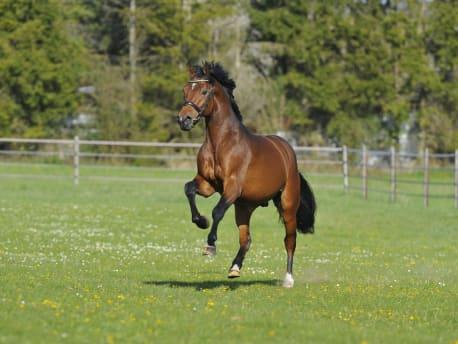Pferd-auf-Weide