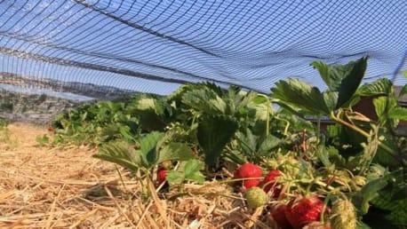 Hagel- und Sonnenschutz für Erdbeerkulturen