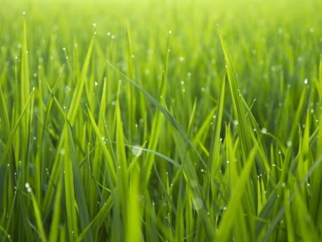 gesunder Rasen
