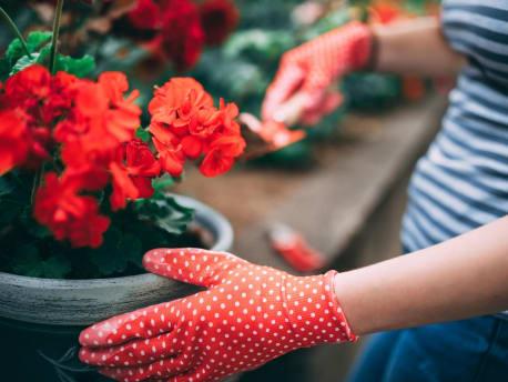 Kübelpflanze Geranie rot