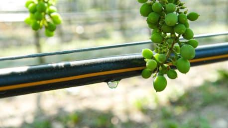 Irrigation in viticulture