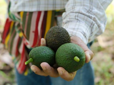 Eine Hand hält drei Avocados