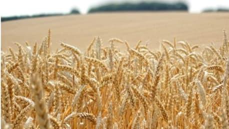 Im Sommer reift der Weizen ab und wird geerntet.