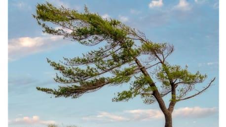 Großer Baum biegt sich - Windstärke 7