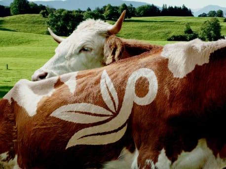 Kuh mit ins Fell eingefrästes Planterra Logo