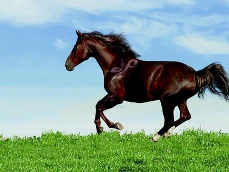 Schwarzes Pferd gallopiert